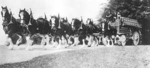Clydesdales at the St. Pats Parade